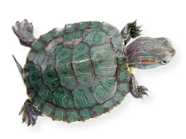 O habitat da tartaruga leak pets for Tartarughe razze